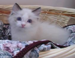 Ragdoll Cat Breeders of Tucson, Arizona - Lexes Dolls - Kittens